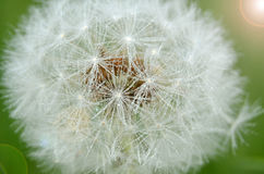 Dandelion. Beautiful white dandelion with a touch of the sun stock photo