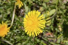 Dandelion. Beautiful yellow dandelion in summer in Finland stock images