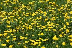 Dandelion. Beauty of a dandelion discover a green meadow Stock Photos