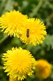 Dandelion and bee Royalty Free Stock Photography