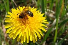 Dandelion & bee Stock Photos