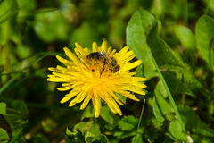 Dandelion with bee royalty free stock photo