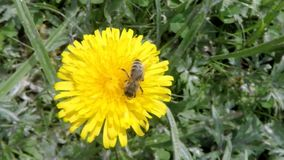 Dandelion with bee stock video footage