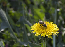 Dandelion and Bee. Bee on yellow flower, bee is pollinating the flower Stock Photos