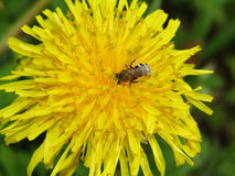 Dandelion and bee macro photo. Dandelion and bee yellow funny cute photo Royalty Free Stock Photos