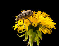 Dandelion and beetle Royalty Free Stock Images