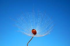 dandelion biedronka zdjęcia royalty free