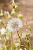 dandelion biedronka Obrazy Royalty Free