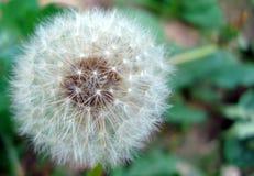 Dandelion biel na zielonym tle zdjęcie stock