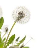 Dandelion bielu granica Fotografia Royalty Free