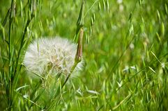 The Dandelion. The big dandelion on the background of the green grass in the garden Royalty Free Stock Photography
