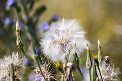 Dandelion. Big dandelion seed ready to fly stock photos