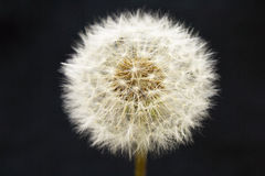 Dandelion on black. Closeup of dandelion on black Royalty Free Stock Photography