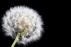 Dandelion on Black. A dandelion with black background - ready to make a wish royalty free stock photo