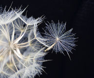 Dandelion in black Royalty Free Stock Photo