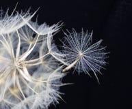 Dandelion in black royalty free stock photo