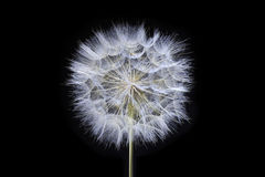 Dandelion on black background Royalty Free Stock Photo