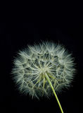Dandelion (black background) royalty free stock photography