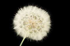 Dandelion on the black background Royalty Free Stock Image