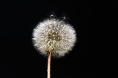Dandelion on black background. Royalty Free Stock Images