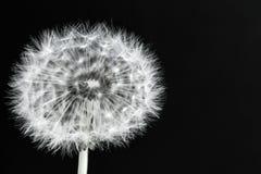Dandelion on black background. Dandelion on a black background. Lightness stock photography