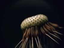 Dandelion on black background, macro Royalty Free Stock Image