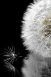 Dandelion on a black background Stock Photos