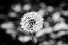 Dandelion Black And White. Dandelion as known as Taraxacum flower in its natural environment with stylish black and white greyscale color scheme to emphasize its Stock Photo