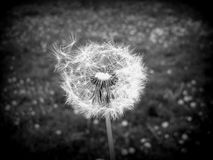 Dandelion black and white Royalty Free Stock Photos