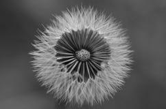 Dandelion. Black and white picture of a dandelion Stock Image