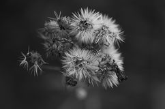 Dandelion. Black and white picture of a dandelion Stock Images