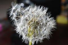 Dandelion blisko obraz stock