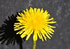 Dandelion bloom Stock Photos