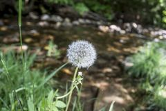 Dandelion by a Connecticutt stream. A dandelion bloom grows next to a stream alongside route 7 near Lakeville, Connecticutt Royalty Free Stock Photo