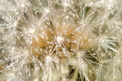 Dandelion bloom Royalty Free Stock Photos