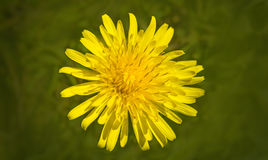 Dandelion in Bloom Royalty Free Stock Photos