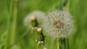 Dandelion blooming stock footage