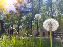 Dandelion blooming outside on a Sunny summer day. The rays of the Sun on the left royalty free stock photo