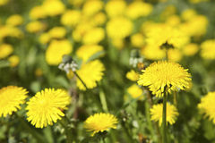 Dandelion blooming in spring in Finland Stock Photo