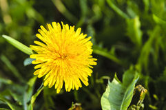 Dandelion blooming in spring macro shot Stock Photography