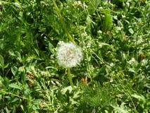 Dandelion 7. Dandelion blooming under the rays of the gentle sun Stock Image