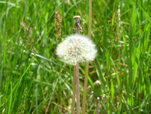 Dandelion. Blooming under the rays of the gentle sun Stock Photos