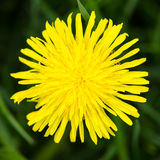 Dandelion. Blooming yellow dandelion on a green meadow Stock Images