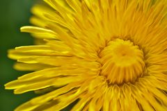 Dandelion that blooms out in May royalty free stock images