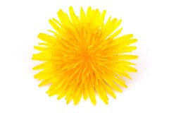 dandelion blossom Stock Image