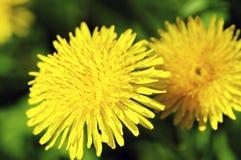 Dandelion Blossom Stock Photos