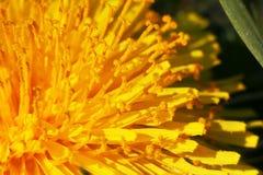 Dandelion blossom Stock Images