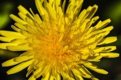Dandelion blossom closeup Royalty Free Stock Photos