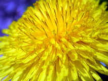 Dandelion blossom detail. Beauty dandelion under microscopic power Stock Image