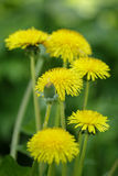 Dandelion blossom on the field Stock Photography